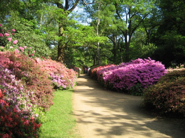 Azaleas in the Isabella Plantation